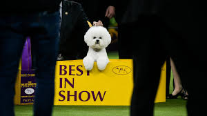 dog show Bichon Frisee.jpg