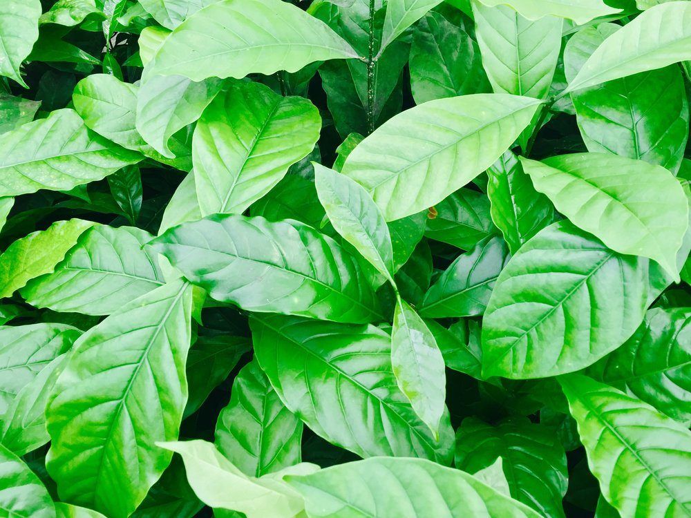 Coffee-Leaves-Close-up.jpg