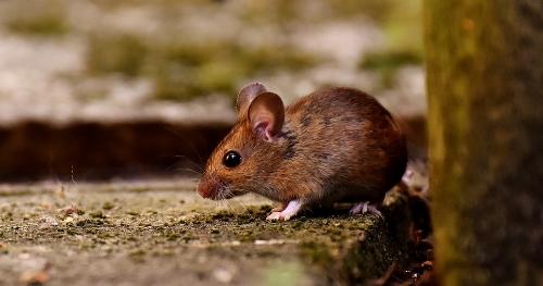 wood-mouse-3082922_960_720.jpg