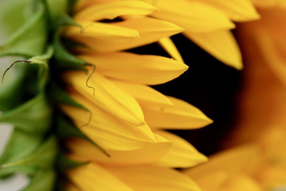 Kirk's sunflower photo captured using the SHOOT shutter release.