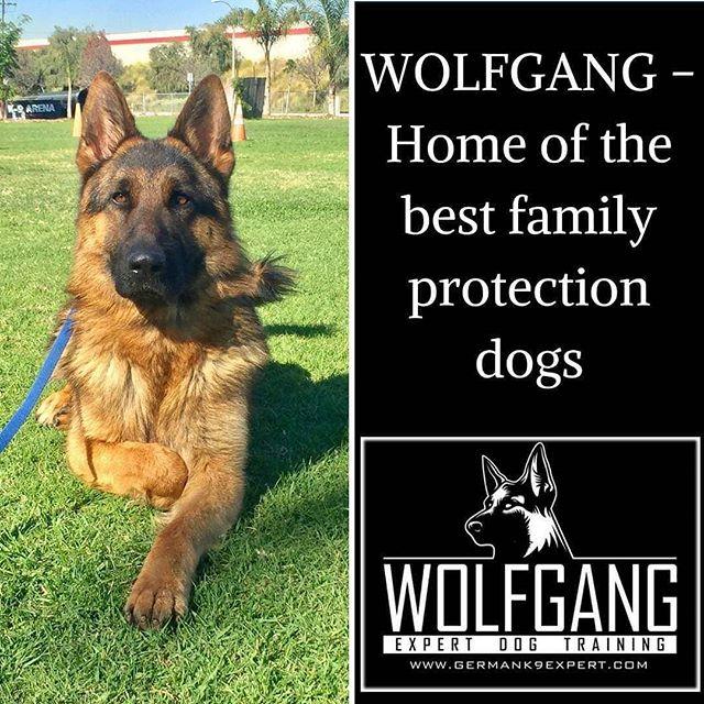 Need a protection dog? We deliver around the world!! . . #WolfgangExpertDogTraining #WolfgangExpertDogTrainer #DogTraining #DogTrainer #WinterDays #WinterWeather #NothingButTheBest #LosAngeles #SoCal #SouthernCalifornia #DogsOfInstagram #WorkHardPlayHard #InKennelTraining #Gardena #Hollywood #WestHollywood #BeverlyHills #RodeoDrive #RunyonCanyon #ExpertTrainers #FunInTheSun #ProtectionDog #ProtectionDogs #ProtectionGSD