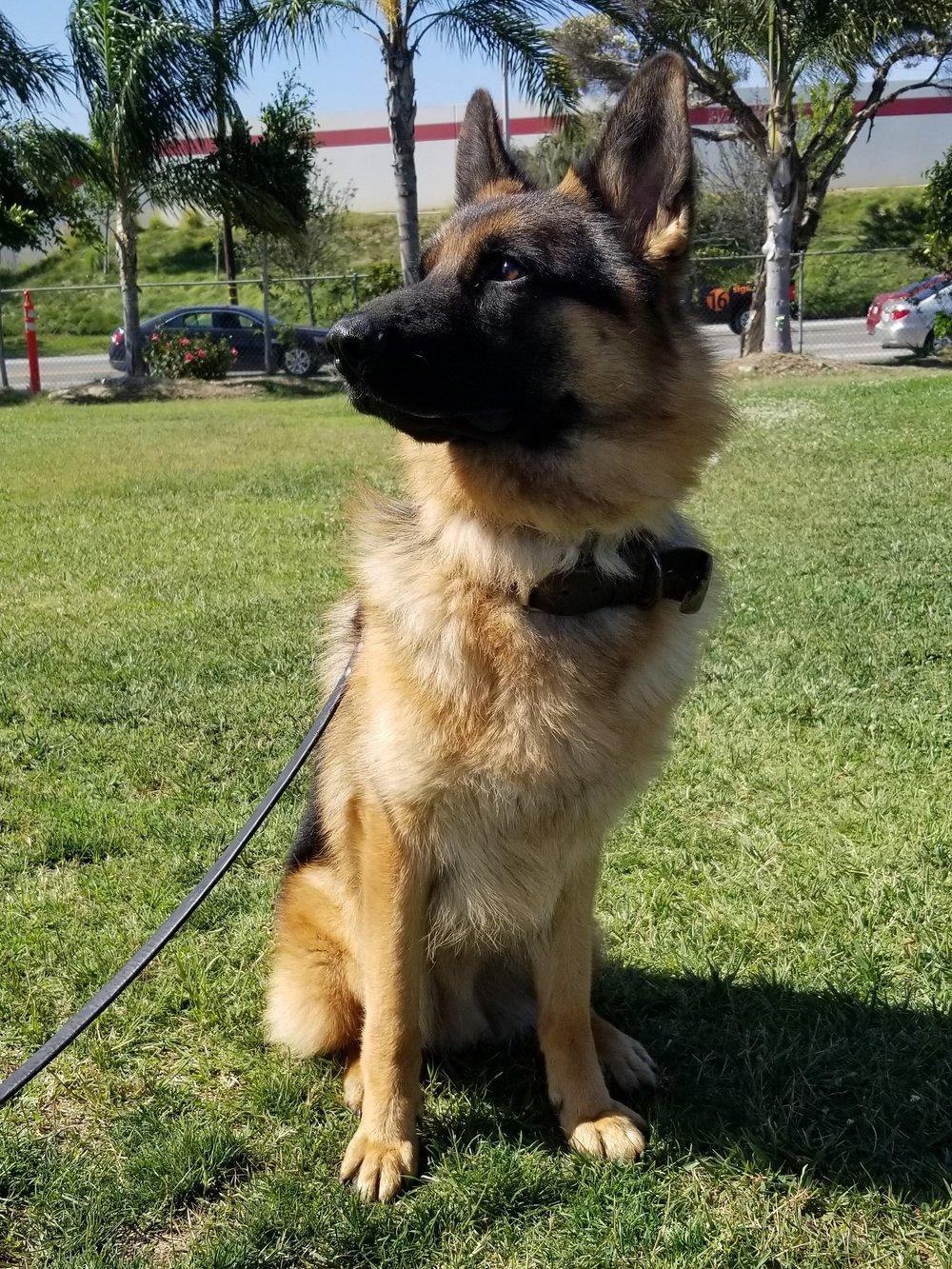 wolfgang-protection-dog-sniper-1.jpg