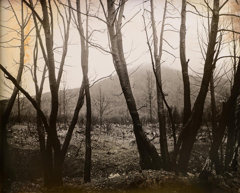 Burnt Beech Trees