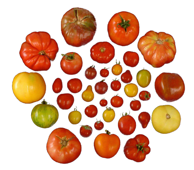 Tomato varieties. Image: Harry Klee, University of Florida