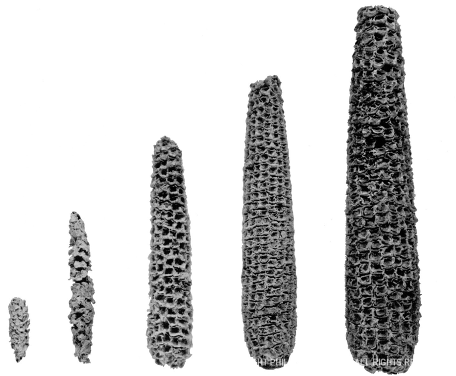 Archeological remains of prehistoric corn varieties. Image: Robert S. Peabody Museum of Archaeology, Phillips Academy, Andover, Massachusetts.