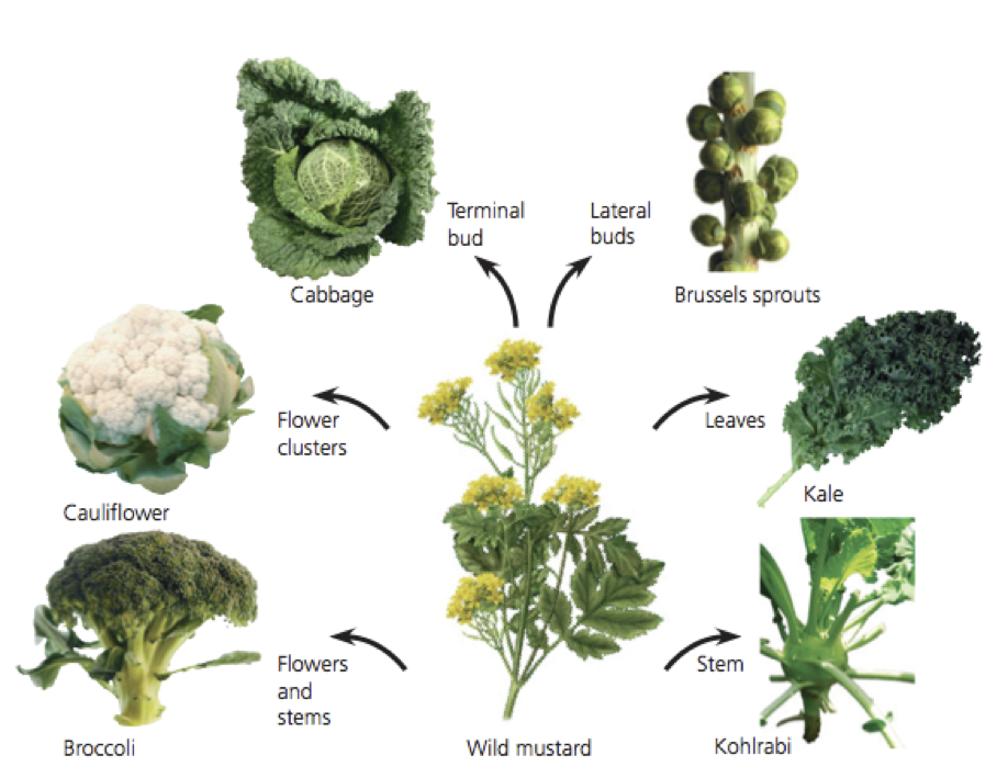 Brassicas.png