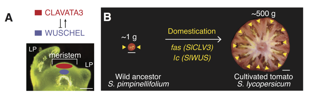 Clavata3  ( CLV3 ) and  Wuschel  ( WUS ) genes form part of a feedback loop that regulates the number of proliferating meristematic cells in plants, including tomato.  Mutations in the tomato genes result in increased meristem size, which contributes to increased fruit size and locule number. (Locules are indicated by yellow arrowheads). Image:Rodriquez-Leal  et al . Cell 171, 470-480, 2017.