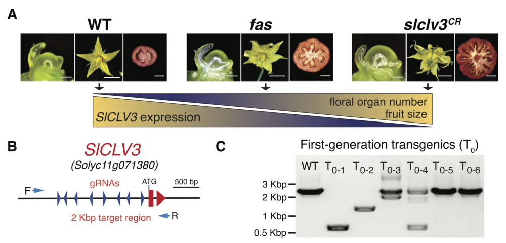 Generating an agronomic trait by gene-editing .A. Phenotypes of WT,  fas , and gene-edited  clv3 tomato plants. B. The  SlCLV3  promoter was targeted by eight gRNAs (blue arrowheads). C. PCR analysis showing multiple deletion alleles in four T0 plants.Image:Rodriquez-Leal  et al . Cell 171, 470-480, 2017