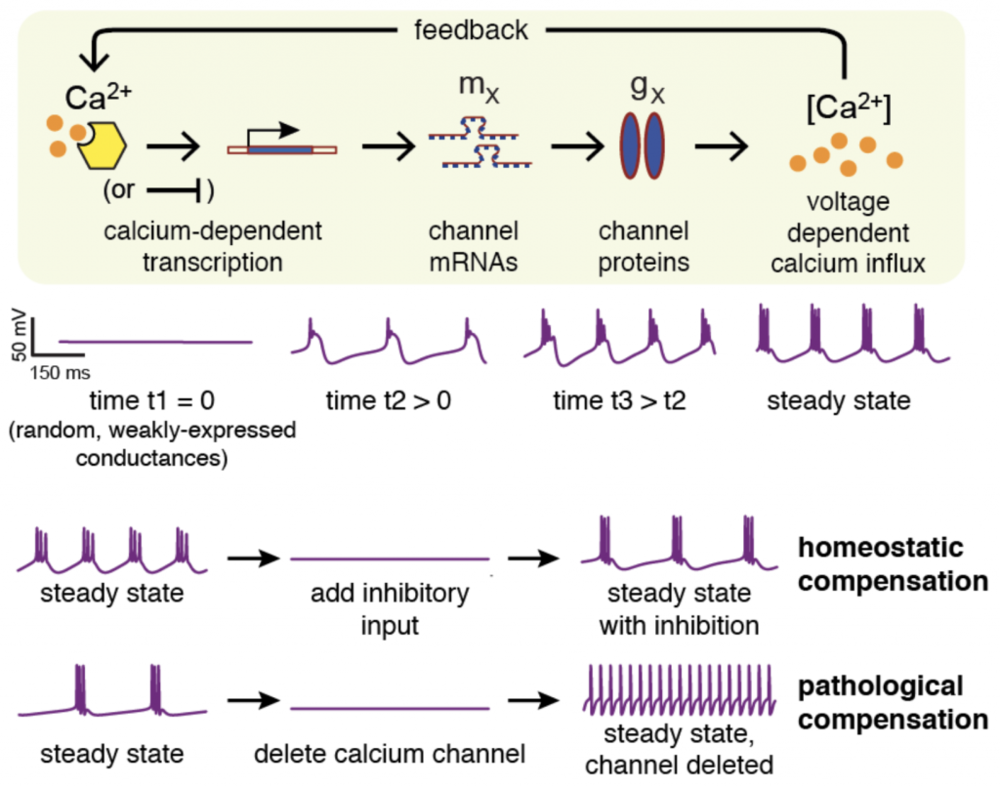 An example of a mathematical model of feedback regulation in a Central Pattern Generator - a small neural network that controls muscle movement. Internal cellular signals allow neurons to robustly develop a rhythmic bursting activity. This robustness can be compromised by loss of specific ion channel genes.