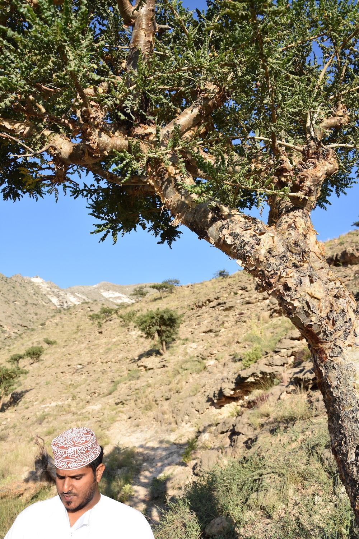 Adnan, my guide, standing underneath the abundant Frankincense tree