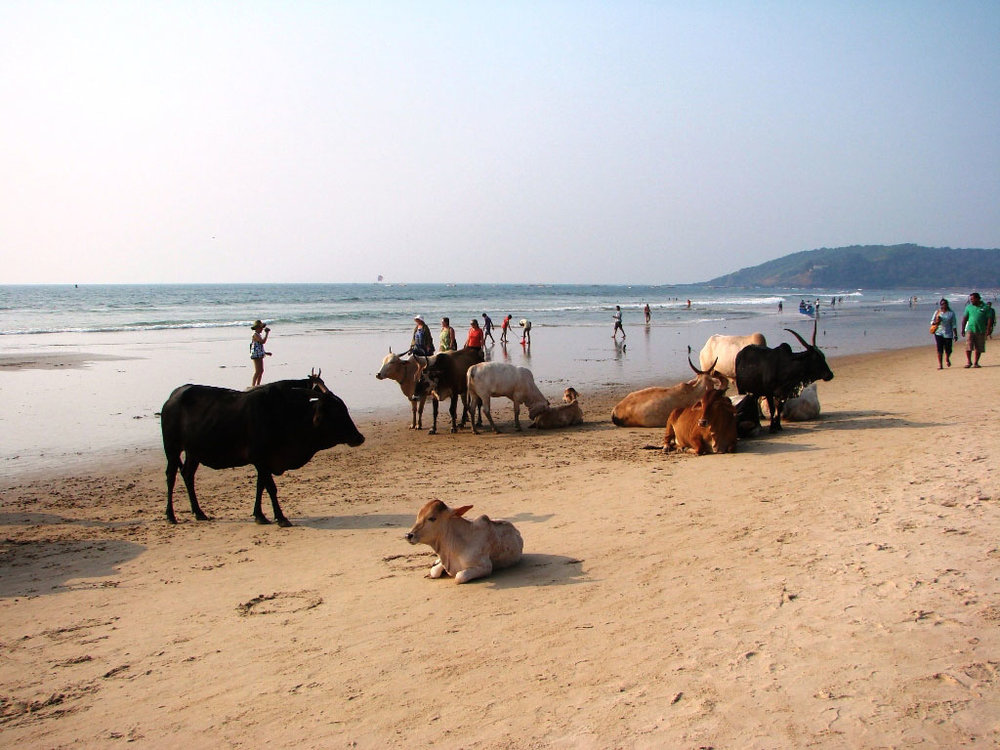 Cows-at-the-quieter-end-of-Baga-Beach.jpg