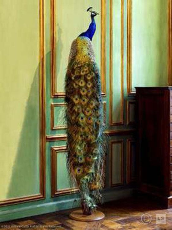 *SOLD* Deyrolle Peacock Against Green Boiserie 2/75