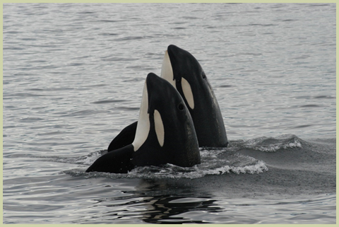 Southern Resident Killer Whales. (Published with permission from Fisheries and Oceans Canada; Credit: Graeme Ellis)