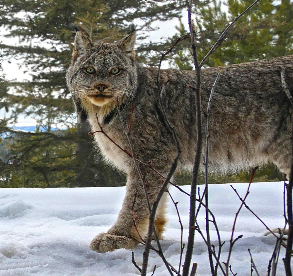 10. Male lynx staring at camera P1140573.jpg