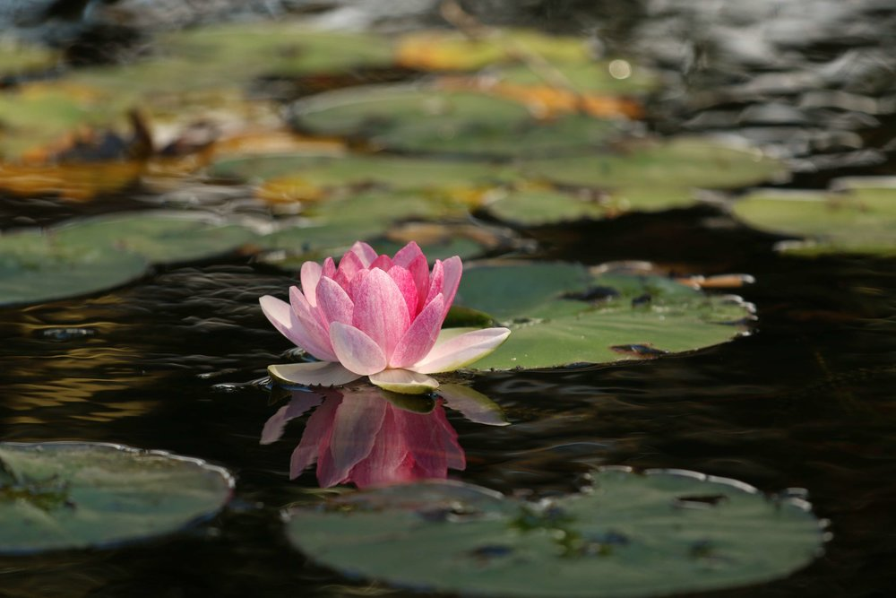 3076203-beauty_flower_lotus_meditation_peace_pink_pond_serenity_tranquil_water-lily.jpg