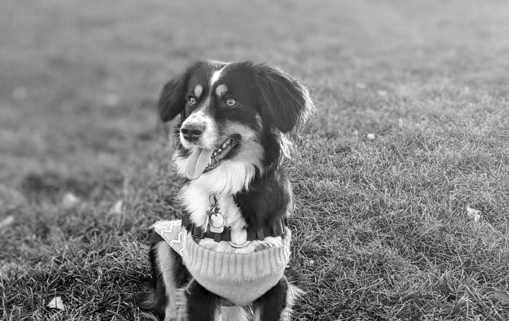 Fio's dog, Luna, Australian Shepard.