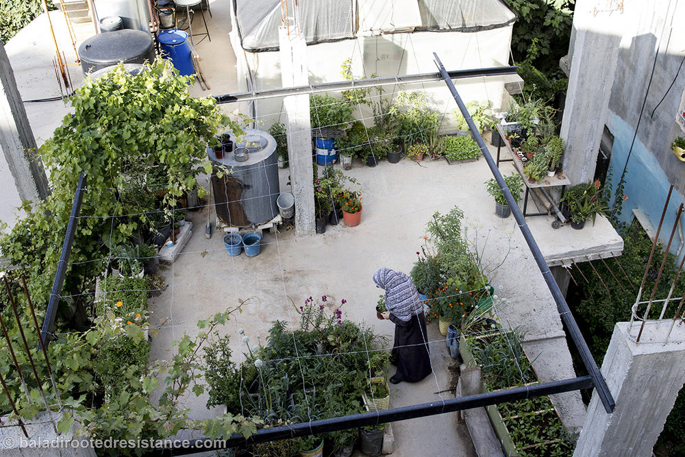 Draguitsa Alafandi attends to her rooftop garden where she plants fruits and vegetables in the Dheisheh Refugee Camp, Bethlehem, Palestine. © Craig Redmond / Baladi - Rooted Resistance