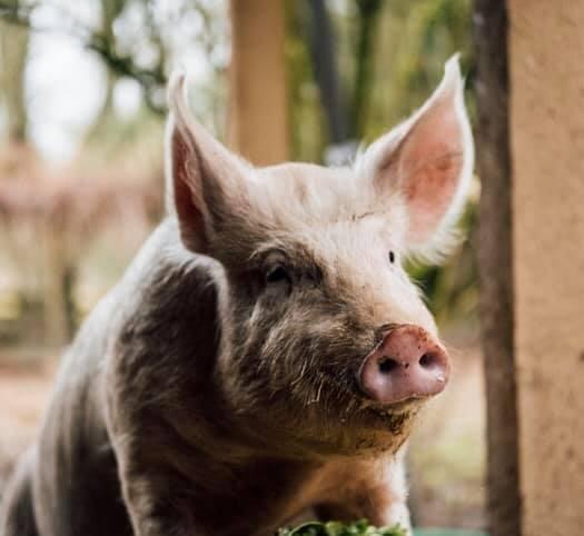 Little OinkBank Pig Sanctuary.jpg