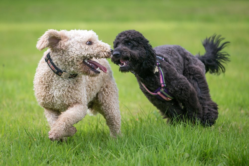 Dog day care services focus on a safe and healthy environment with plenty of time for playing and making new friends.