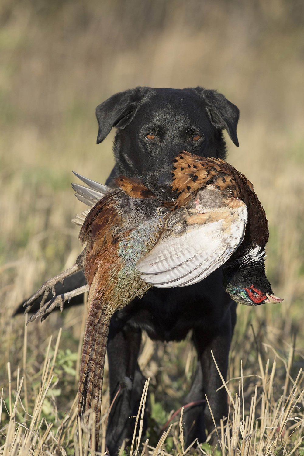 Bird dog training for upland and waterfowl hunting.