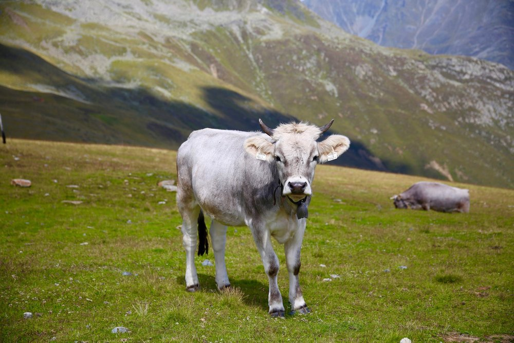 AUSTRIA-Baby Cow.jpg