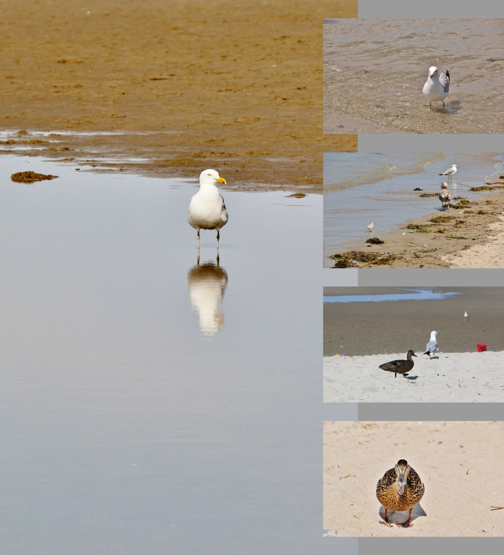 Gulls, and Sandpipers, and Plovers, and a DUCK! Oh, my!! June 2014