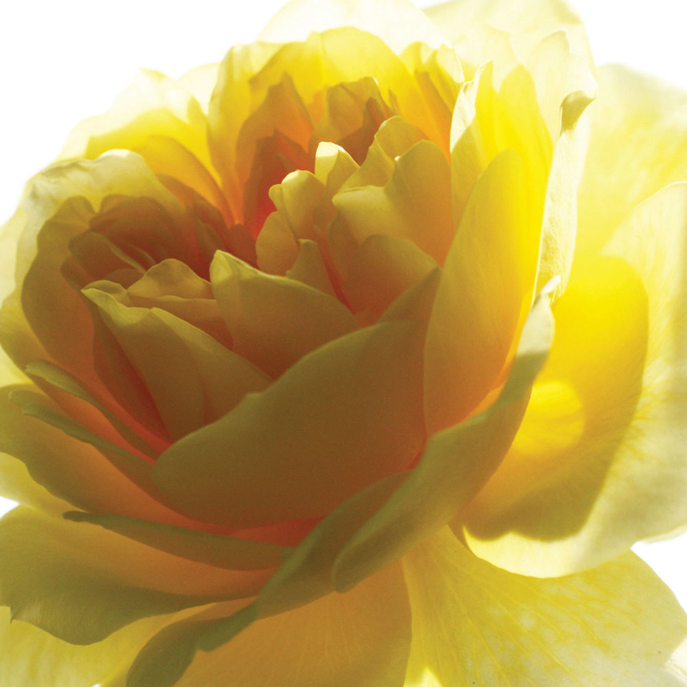 11_Yellow-Rose_jgb_opt_web.jpg