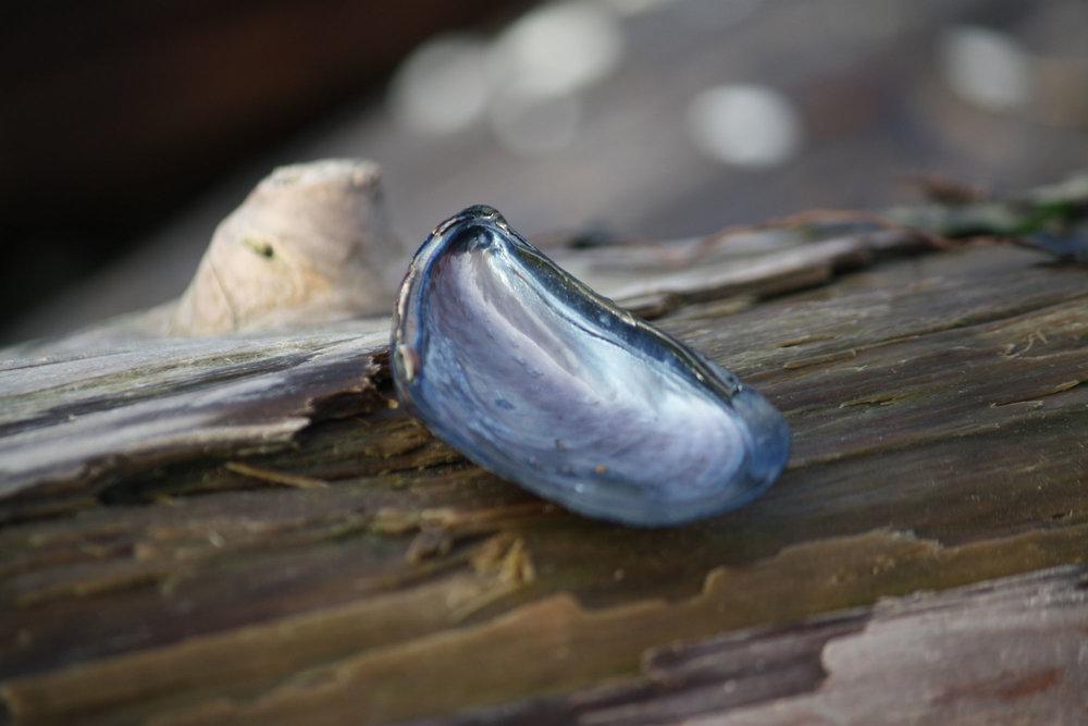 blue-mussel-on-brown-log_web.jpg