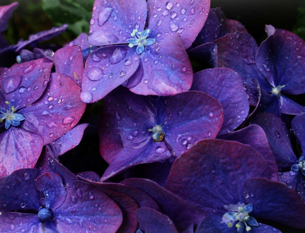 Hydrangeas-deep-blue-purple_web.jpg