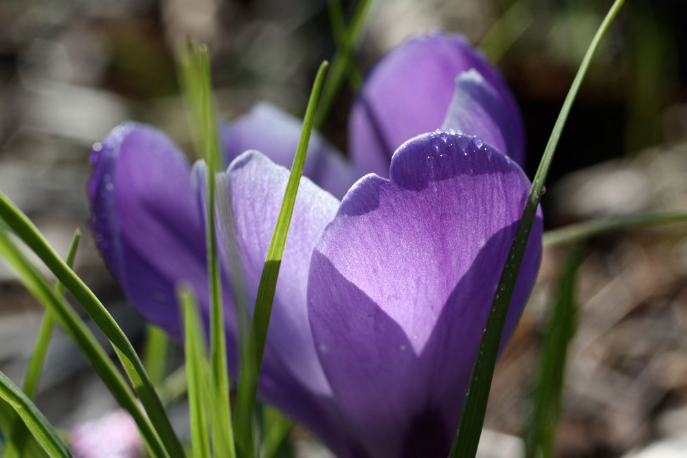 purple-crocus-with-dew-drops_web.jpg