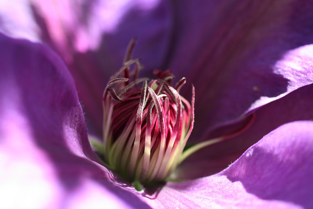 purple-pink-inside-of-clematis_web.jpg