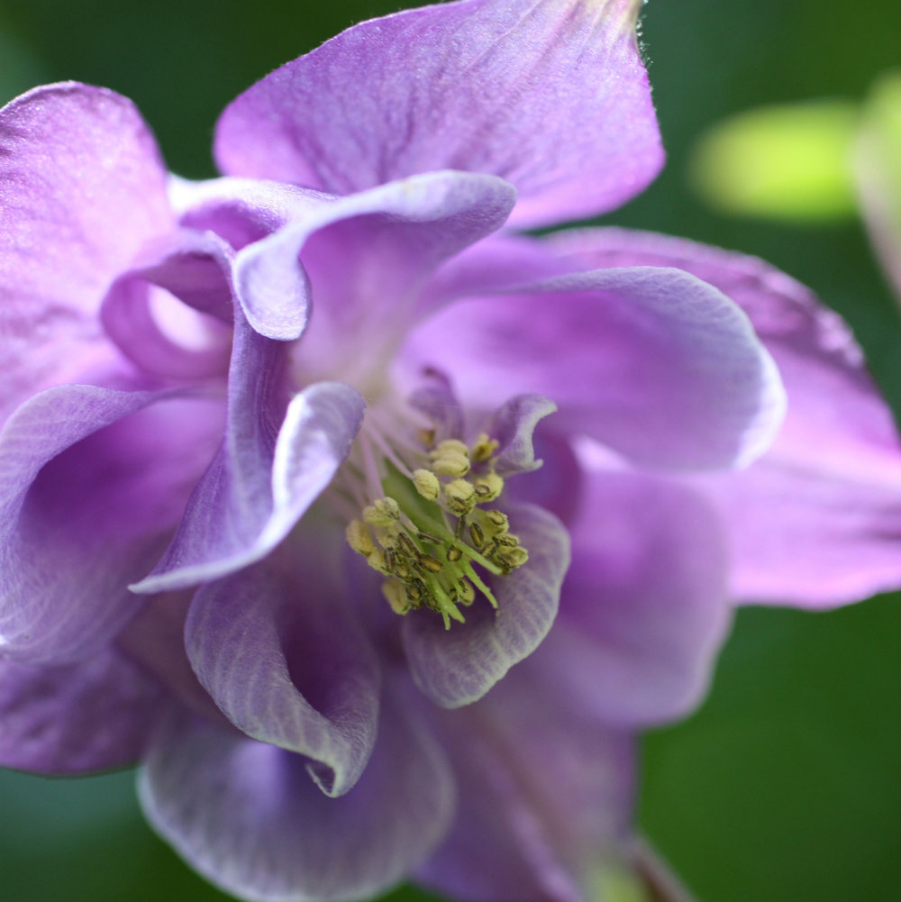 purple-columbine-close-up_web.jpg