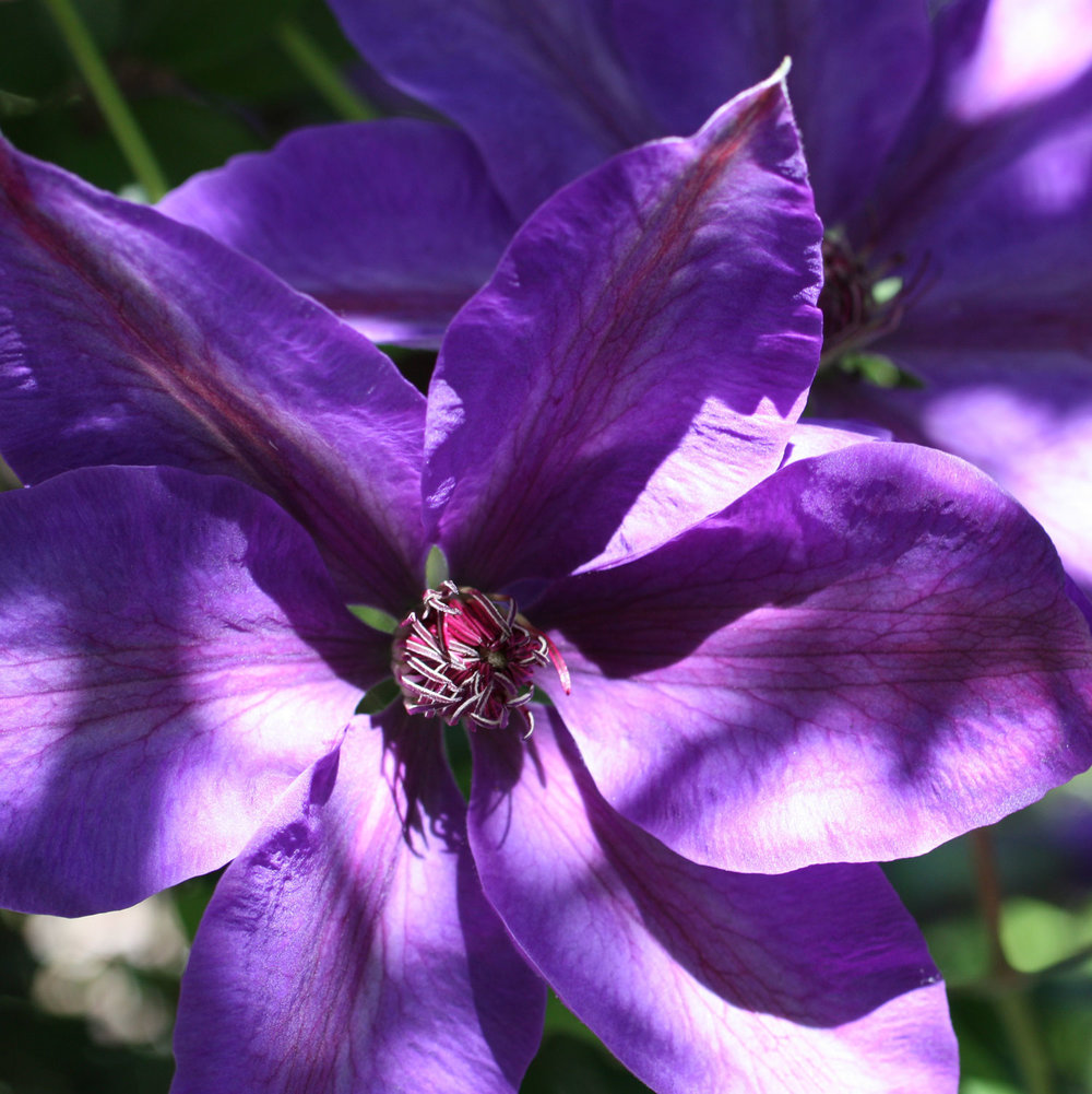 purple-clematis-2-square_web.jpg