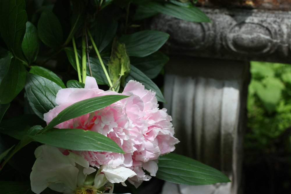 pink-peony-in-front-of-garden-bench_web.jpg