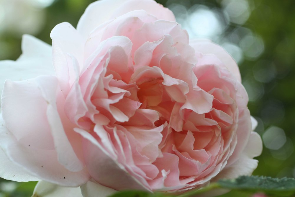 Pink-old-fashioned-rose_web.jpg