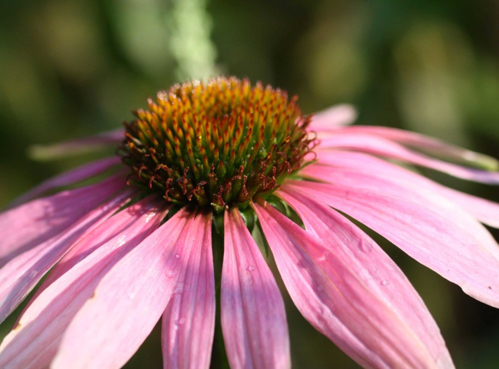 84_Coneflower_rgb_opt_web.jpg