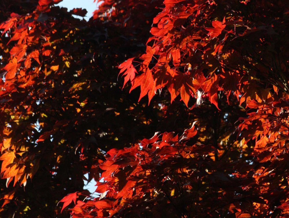 Red-maple-in-Poughkeepsie_web.jpg