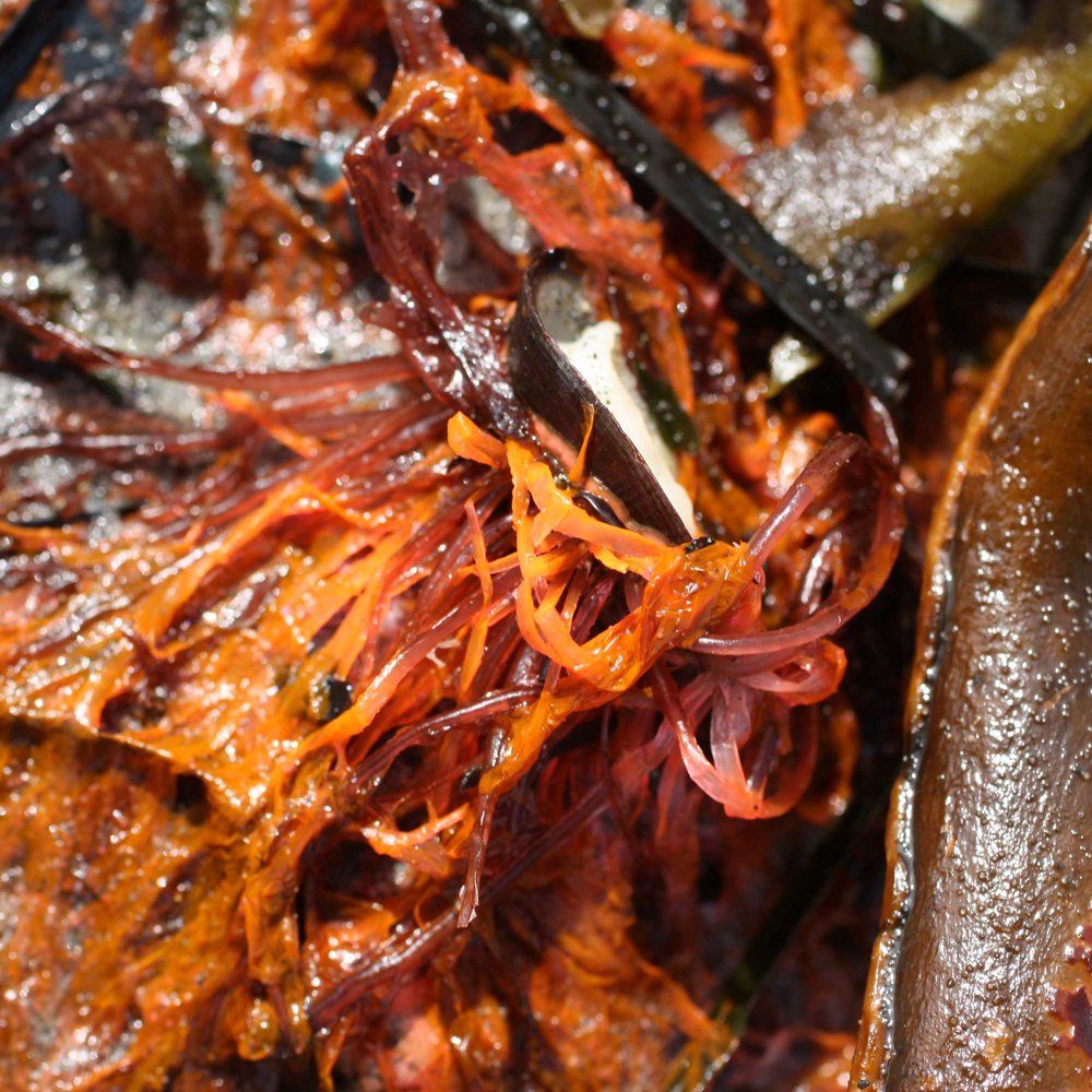 Seaweed-orange-close-up-square_web.jpg