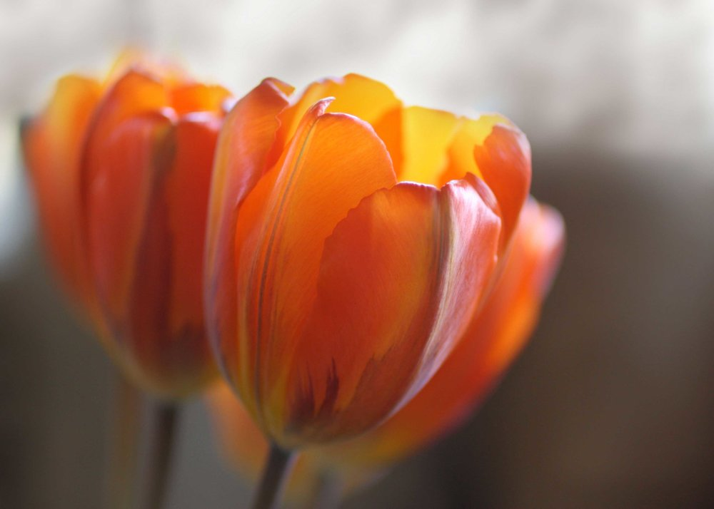 106_Orange-tulips_rgb_opt_web.jpg