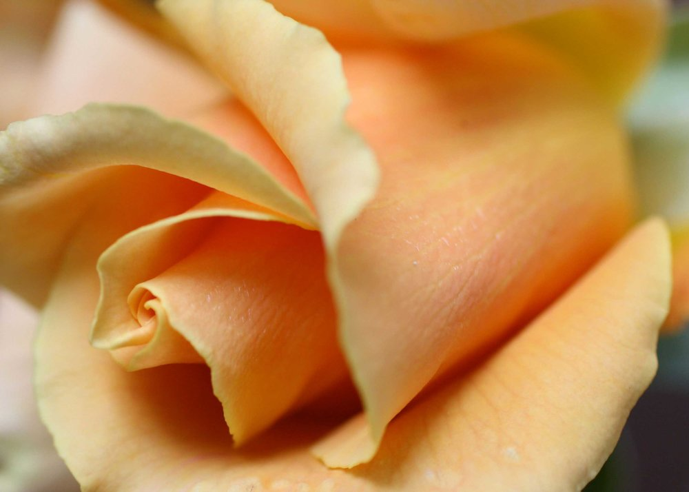 112_Soft-Orange-Rose_rgb_opt_web.jpg