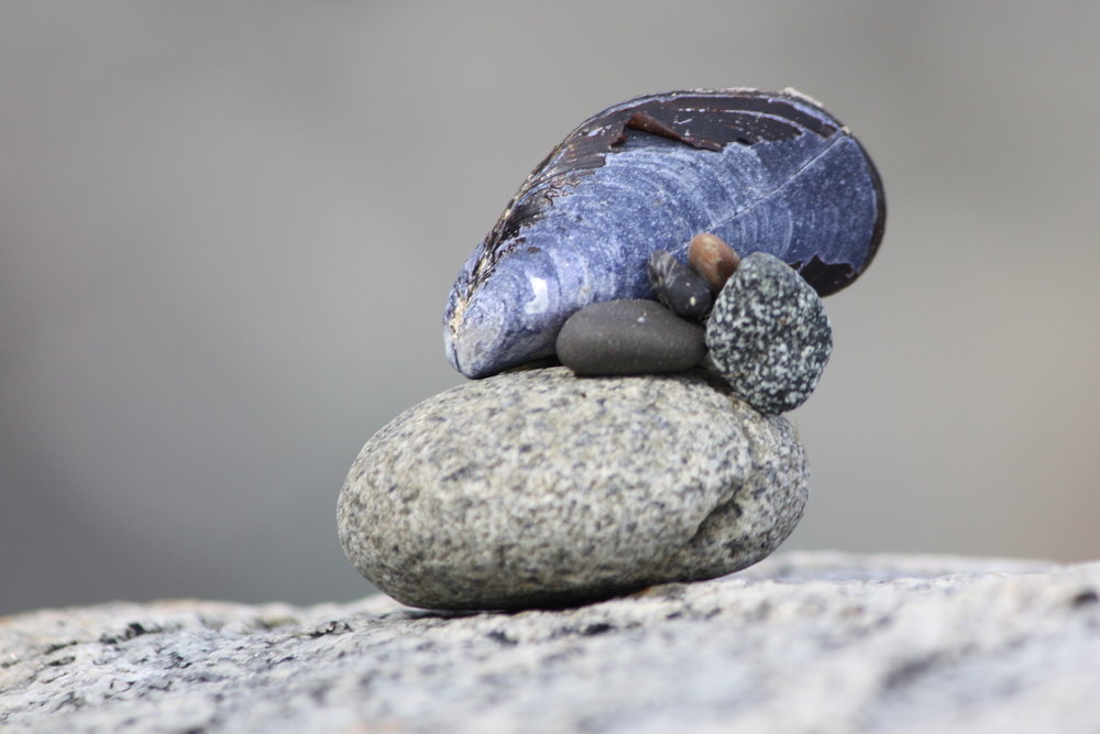 Blue mussel perched on rock web.jpeg