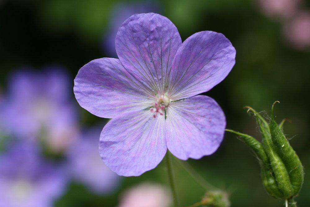 geranium blue web.jpeg
