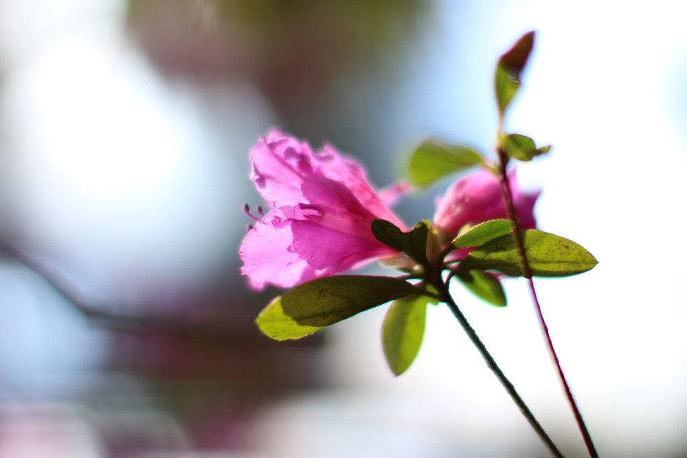 pink rhody web.jpeg