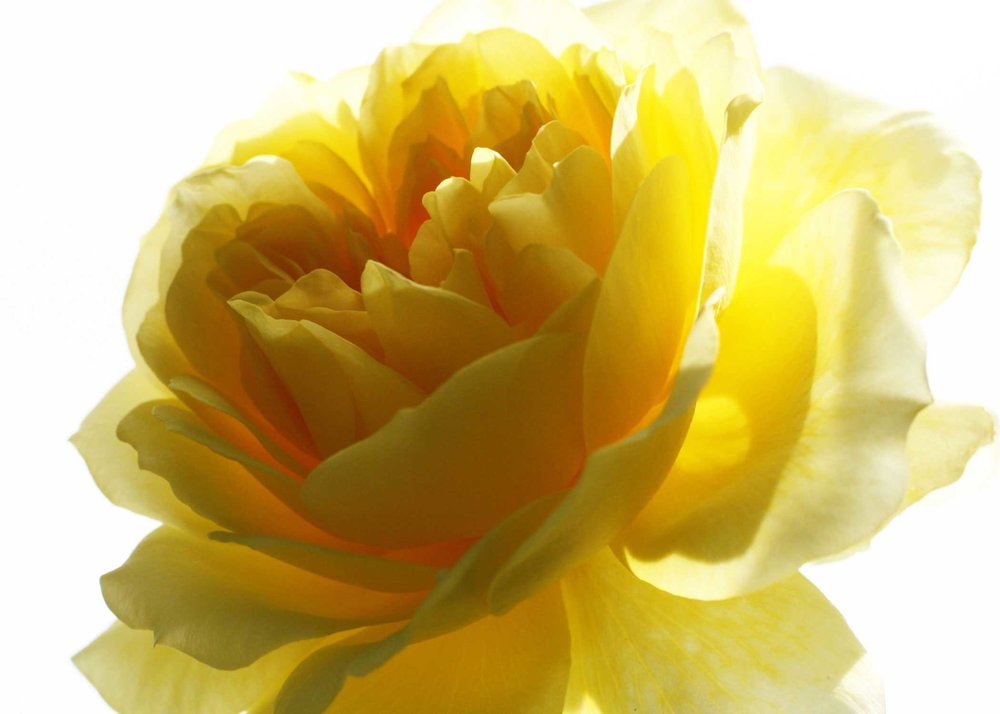 130_Yellow-Rose_rgb_opt_web.jpg