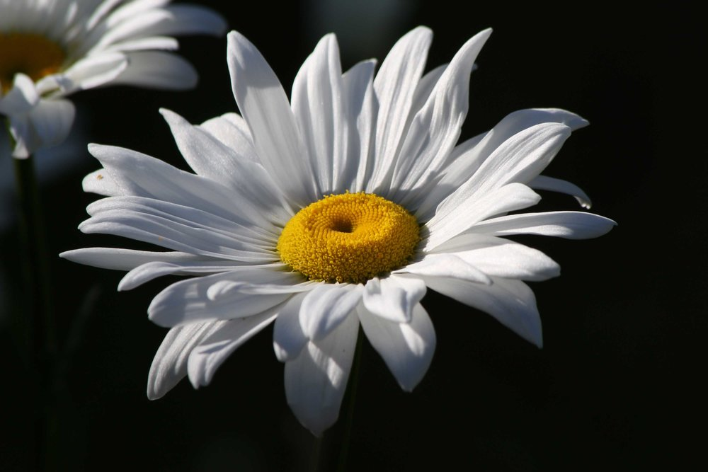White-Daisy-Black-Background_web.jpg
