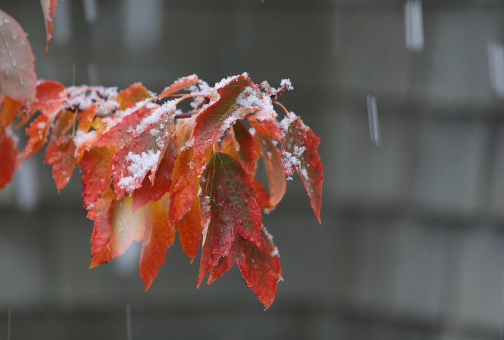 Snow on autumn leaves