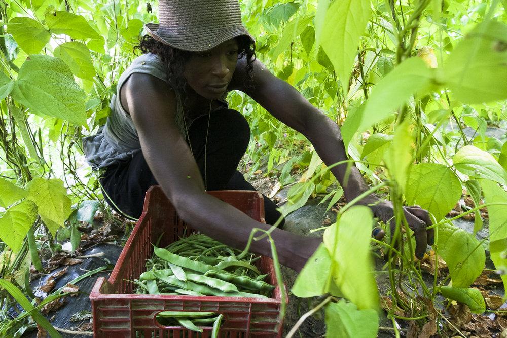 Houssei, ouvrière maraîchère originaire de Guinée, au Jardin de Cocagne :  Les nouveaux Jardins de la Solidarité  à Moirans (38). © 2018 Jean-Philippe Berger