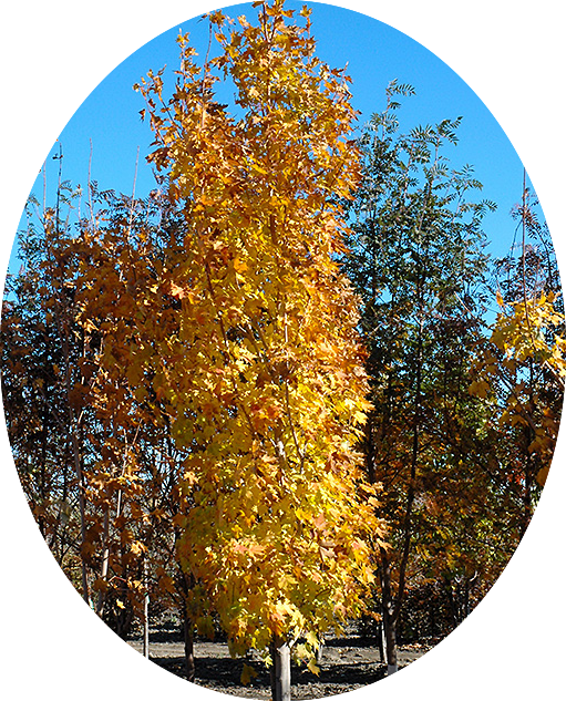 Lord Selkirk Sugar Maple (Fall)