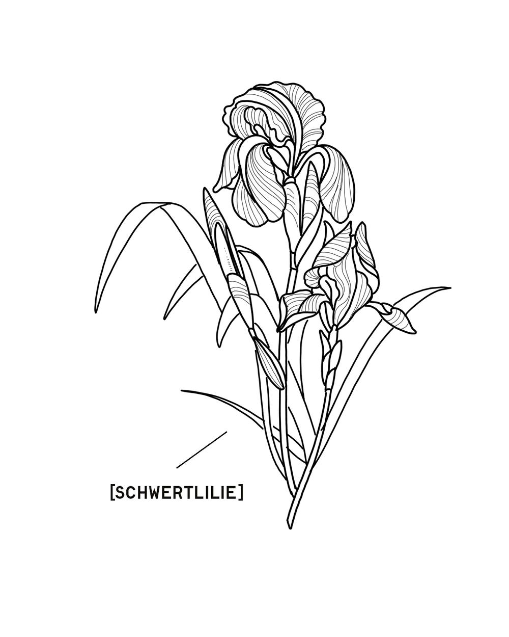 SCHWERTLILIE-1350X1080.png