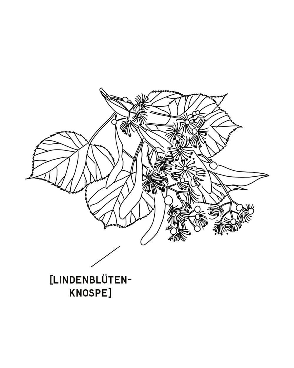 LINDENBLUETENKNOSPE-1350X1080.png